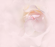 Macro Flower Prints - Whispers of a Pink Rose Print by Jennie Marie Schell