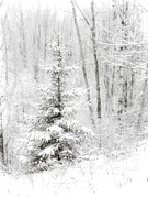 Evergreen With Snow Framed Prints - Whispers the Snow Framed Print by Angie Rea