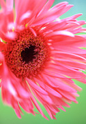 Floral Framed Prints Photos - Whispy Daisy by Kathy Yates