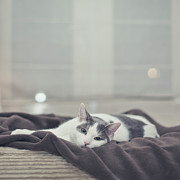 Blanket Prints - White And Grey Cat Lying On Brown Blanket Print by Cindy Prins