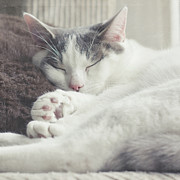 Cushion Photo Posters - White And Grey Cat Taking Nap On Couch Poster by Cindy Prins