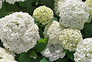 Shirley OBrien - White and Lime Hydrangeas