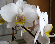 Orchids Art - White and Yellow Orchids by Patricia Januszkiewicz