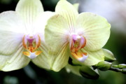 Eros Photos - White and Yellow Phalanopsis Orchid Flower . 7D5732 by Wingsdomain Art and Photography