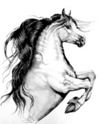 Horse Drawings Prints - White Andalusian Print by Cheryl Poland