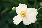Photographs Digital Art - White Anemones  by Cathie Tyler