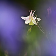 Abstract Columbine Prints - White Aquilegia Print by Heiko Koehrer-Wagner