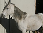 White Arabian Stallion Sunbathing Print by Burkhard Eichberger