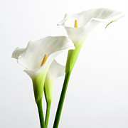Internal Metal Prints - White arums Metal Print by Bernard Jaubert