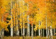 Steamboat Springs Western Framed Prints - White Aspen Trunks Framed Print by Ron Dahlquist - Printscapes