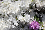 Photography - White Azalea by Debra Martelli