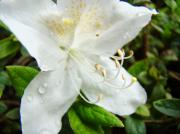 Flower Photographs Prints - White Azalea Flower 9 Azaleas Raindrops Spring Art Prints Baslee Troutman Print by Baslee Troutman Fine Art Collections