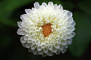 White Beautiful  Dahlia Print by Photography by Dalang5