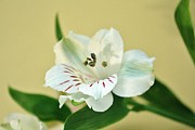 Lily Flowers - White Beauty by Cathie Tyler