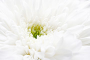 Close Up Floral Posters - White beauty Poster by Kristin Kreet
