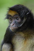 Spider Species Posters - White-bellied Spider Monkey Ateles Poster by Pete Oxford