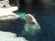 Sea Animals Art - White Beluga Whale 3 by Angelina Vick
