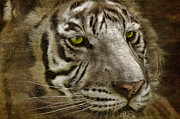 Tiger Digital Art Framed Prints - White Bengal Framed Print by Lois Bryan