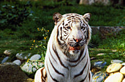 White Mammal Framed Prints - White Bengal tiger  Framed Print by Garry Gay
