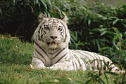 Environmental Issue Art - White Bengal Tiger Panthera Tigris by Gerry Ellis