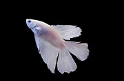 Siamese Photo Prints - White Betta Fish Print by photograph by Anastasiya Fursova