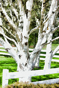 White Fence Posters - White Birch Trees Country Fence Poster by Tracie Kaska