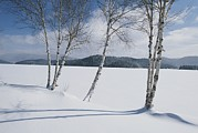Snow Scenes Metal Prints - White Birch Trees On The Edge Metal Print by Michael Melford