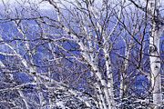 Winter Landscapes Photos - White Birch Trees by Tim Laman