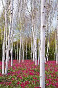 White Birch Trees With A Red Flowers Carpet Print by Katarzyna Drabek