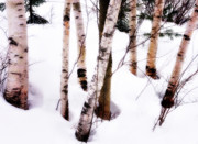 Rural Snow Scenes Posters - White Birch Trunks - Winter Fine Art Nature  Poster by Thomas Schoeller