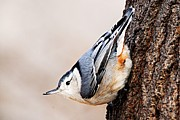 Goose Island Park Framed Prints - White-Breasted Nuthatch 4 Framed Print by Larry Ricker
