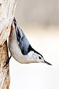 Goose Island Park Framed Prints - White-Breasted Nuthatch Framed Print by Larry Ricker
