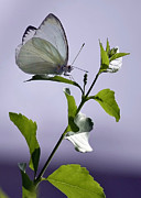 Purple And Green Prints - White Butterfly Print by Carol Groenen