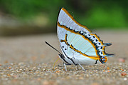 Bokhe Photos - White Butterfly by Nittaya Tungsupatawat