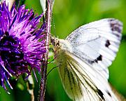 Wildlife Insect Posters - White Cabbage Butterfly Pieris rapae on Purple Thistle Flower Poster by Chris Smith