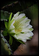 White Cactus Flower Framed Prints - White Cactus Flower  Framed Print by Saija  Lehtonen