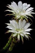 Saija  Lehtonen - White Cactus Flowers