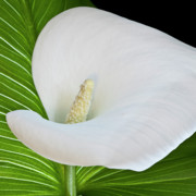 Pistil Prints - White Calla Print by Heiko Koehrer-Wagner