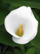 Home Decor Posters - White Calla Lily Poster by Christine Till
