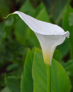 Grace Art - White Calla by Rona Black