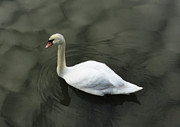 White Mute Swan Posters - White Calm Poster by Olahs Photography