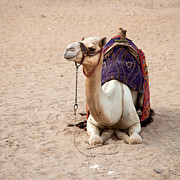Sahara Prints - White camel Print by Jane Rix