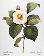 Camellia Japonica Posters - White Camellia Poster by Granger
