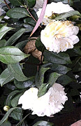 White Camellia Print by Mindy Newman