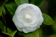 Camellia Photo Metal Prints - White Camellia Metal Print by Rich Franco