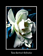 Theaceae Framed Prints - White Camellia Framed Print by Rose Santuci-Sofranko