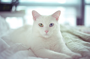 Bedroom Photo Posters - White Cat Laying On Comfy Bed Poster by by Dornveek Markkstyrn