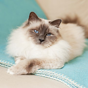 Domestic Animals Art - White Cat On Blue Blanket by MariaR