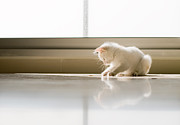 Sitting Photos - White Cat Playing On The Floor by Jose Torralba