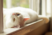 Sill Photo Framed Prints - White Cat Relaxing In Windowsill Framed Print by Kathryn Froilan